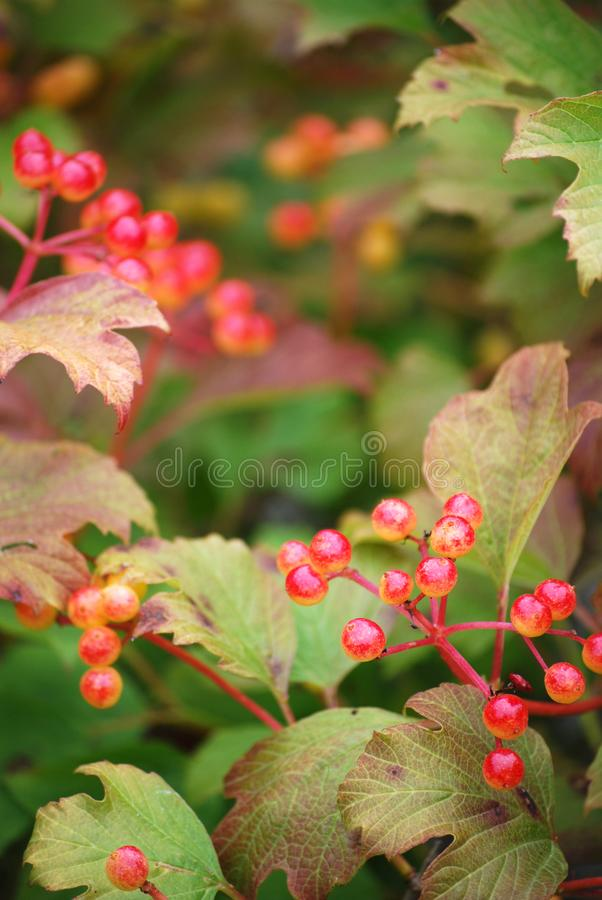 La caduta di viburno ha colorato il fogliame e le bacche in Autumn Garden immagine stock libera da diritti