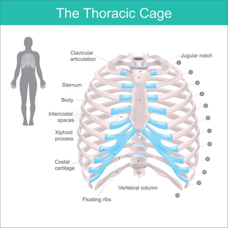 La cage thoracique illustration libre de droits