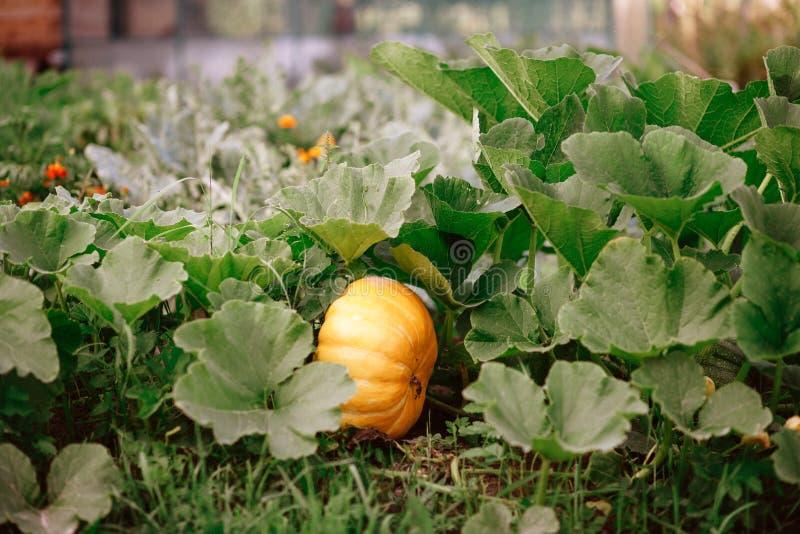 La calabaza crece en el jard?n Lo madura en el jardín del otoño en venta en el mercado al aire libre del granjero imágenes de archivo libres de regalías