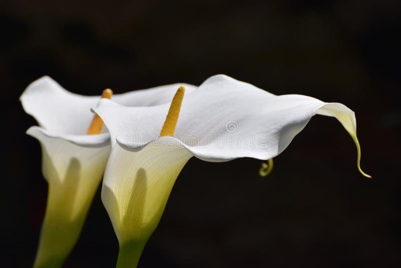 La calla fiorisce la pace e la purezza di simbolizzazione bianche fotografia stock libera da diritti