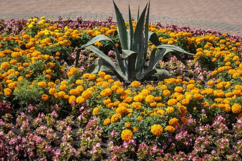 La cama de flor brillante del verano de la maravilla amarilla y anaranjada florece el erecta de Tagetes, el mexicano, el Azteca o fotografía de archivo libre de regalías