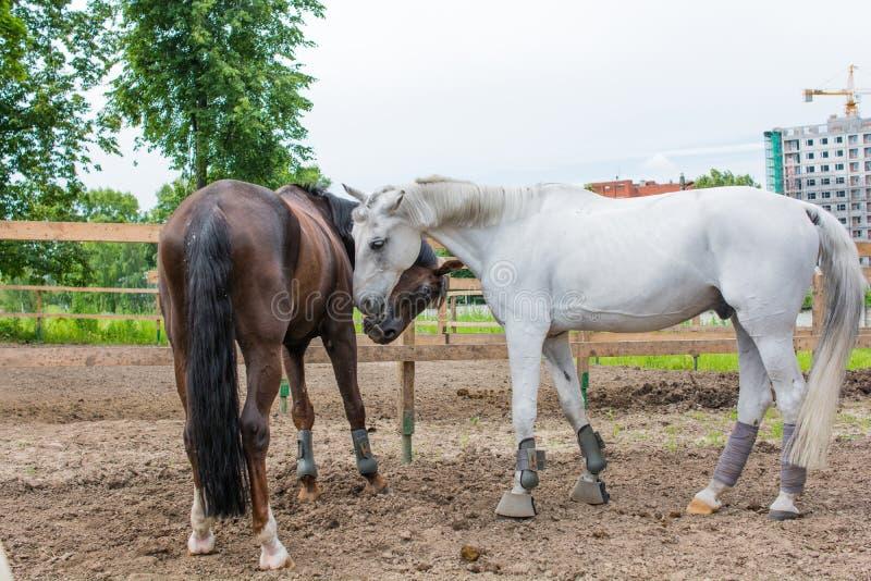 La camminata dei cavalli fotografia stock libera da diritti
