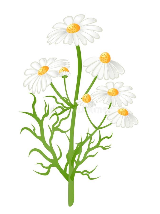 la camomilla fiorisce il vettore dell'illustrazione illustrazione vettoriale