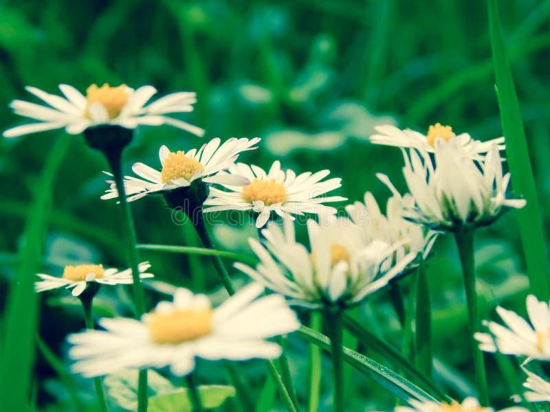 La camomilla fiorisce su un fondo di erba verde fotografia stock libera da diritti
