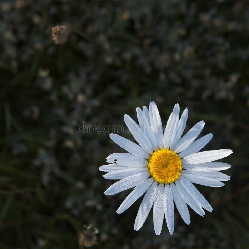 La camomille est une fleur qui lutte pour l'amour jusqu'au dernier pétale ! photo libre de droits