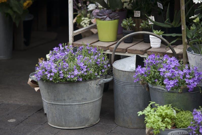 La campanula blu fiorisce sul mercato da vendere immagine stock