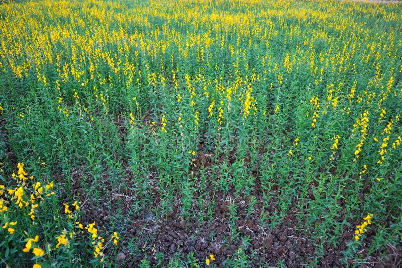 La canapa solare è una pianta della famiglia dei legumi Il tronco è eretto Fiorire in giardino immagine stock