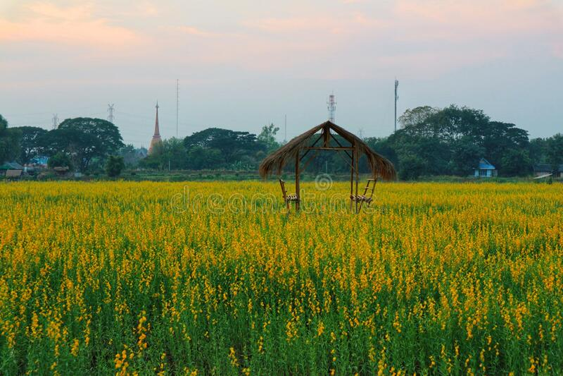 La canapa solare è una pianta della famiglia dei legumi Il tronco è eretto Fiorire in giardino fotografia stock libera da diritti