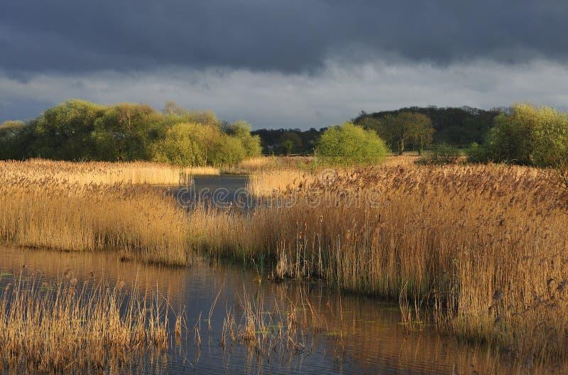 La canna selvatica (Phragmites australe) Somerset livella immagini stock