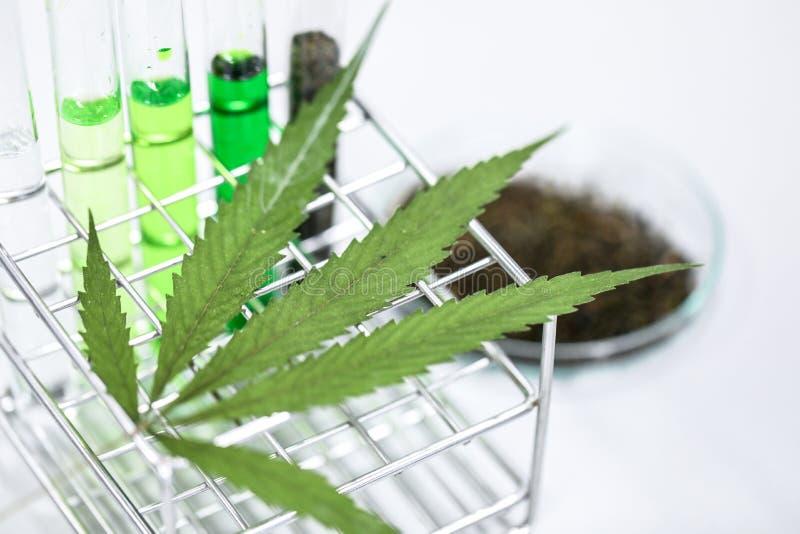 La cannabis droga, l'analisi della cannabis in laboratorio immagine stock libera da diritti