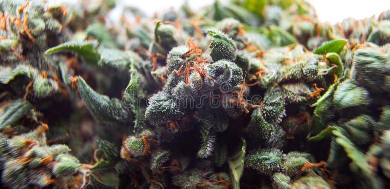 La cannabis germoglia il fondo, piante di marijuana immagini stock libere da diritti
