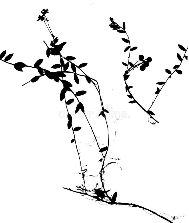 La canneberge noire laisse la silhouette d'isolement sur le fond blanc illustration libre de droits