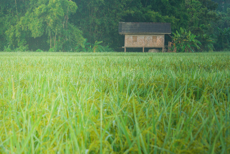 La capanna nel giacimento del riso fotografia stock
