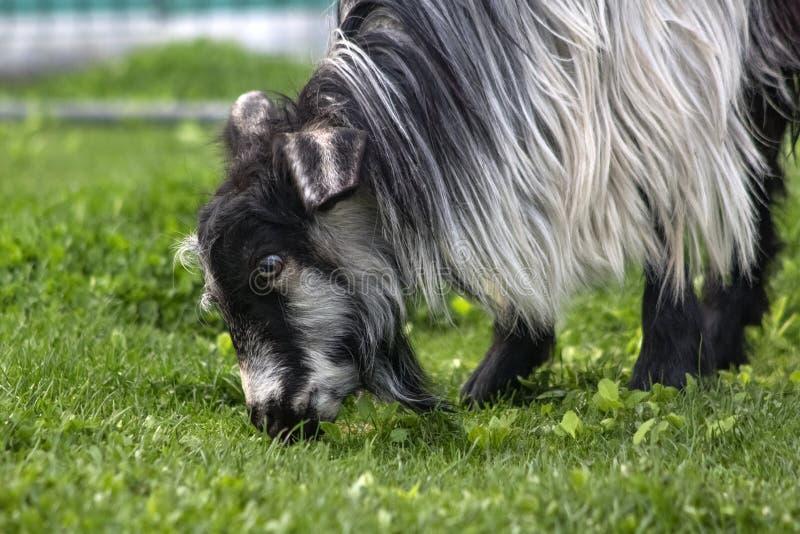 La capra con il cappotto lungo pasce l'erba verde fotografia stock