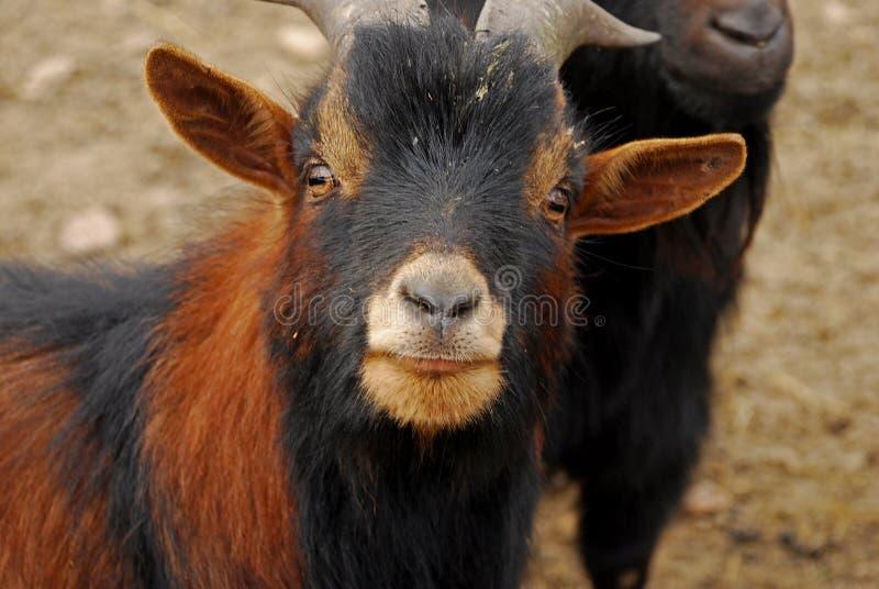 La capra del Camerun o la capra pigmea africana è una razza della capra domestica miniatura fotografia stock libera da diritti