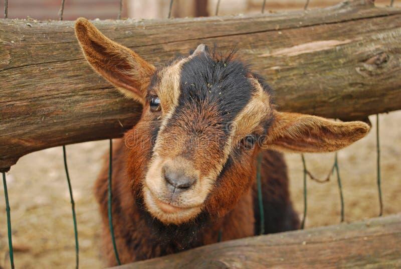 La capra del Camerun o la capra pigmea africana è una razza della capra domestica miniatura fotografie stock