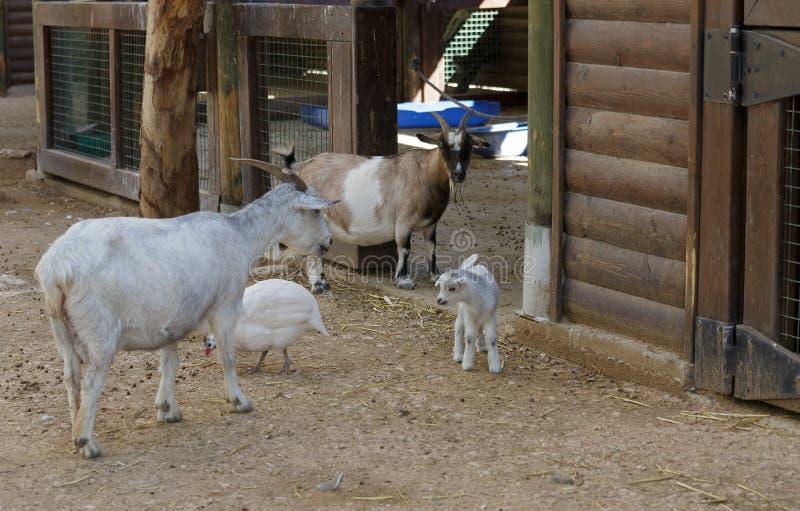 La capra ed il bambino fotografia stock libera da diritti