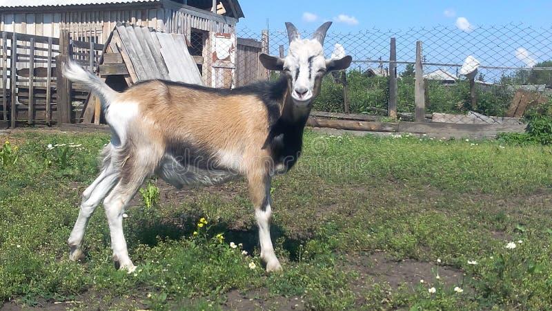 La capra sul cortile agricolo prende il sole al sole fotografia stock