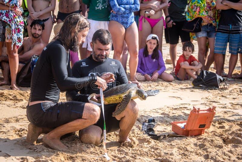 La captura científica de las tortugas de mar de Tamar Project Projeto Tamar en el Praia hace la playa de Boldro - Fernando de Nor foto de archivo libre de regalías