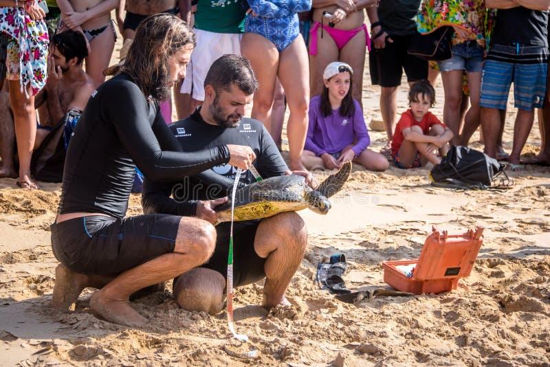 La captura científica de las tortugas de mar de Tamar Project Projeto Tamar en el Praia hace la playa de Boldro - Fernando de Nor fotos de archivo