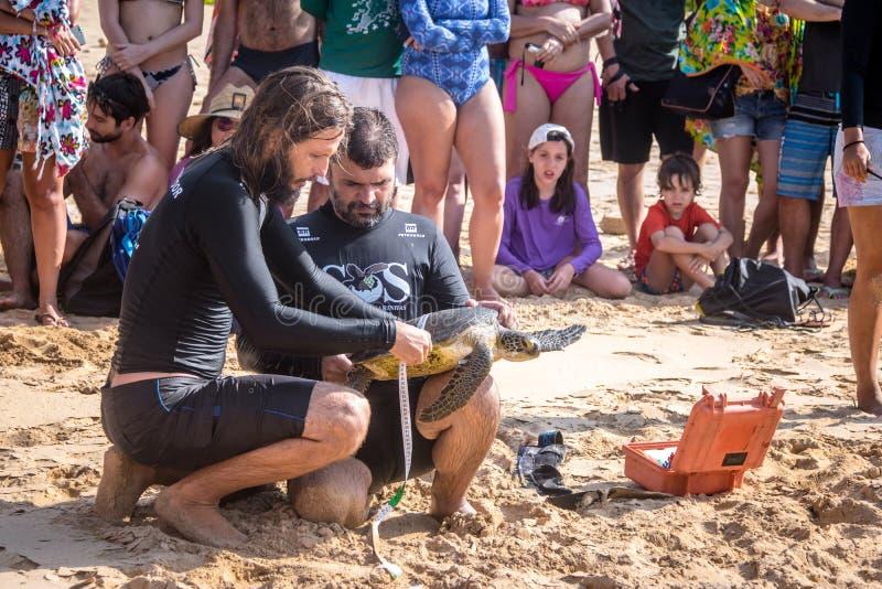 La captura científica de las tortugas de mar de Tamar Project Projeto Tamar en el Praia hace la playa de Boldro - Fernando de Nor fotografía de archivo