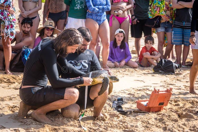 La captura científica de las tortugas de mar de Tamar Project Projeto Tamar en el Praia hace la playa de Boldro - Fernando de Nor imagen de archivo