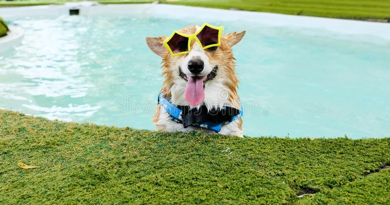 La cara adorable de la sonrisa del perro del corgi galés lleva las gafas de sol amarillas en piscina en el fin de semana fotos de archivo