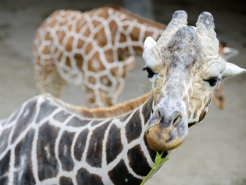 La cara de la jirafa aislada fotos de archivo libres de regalías
