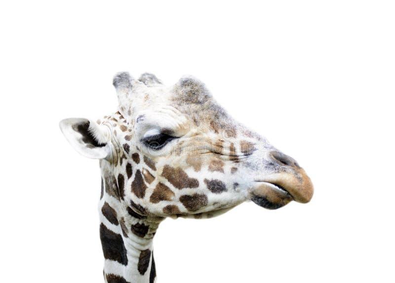 La cara de la jirafa aislada imágenes de archivo libres de regalías