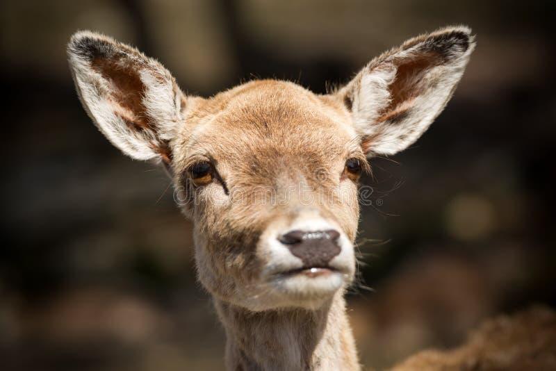 La cara de un ciervo joven lindo se cierra para arriba imagen de archivo
