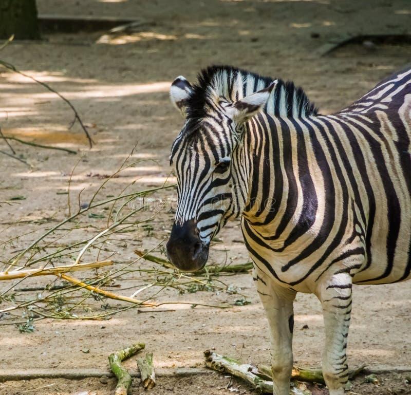 La cara de una cebra de los burchells en el primer, animal popular del parque zoológico del safari, especie tropical del caballo  fotografía de archivo