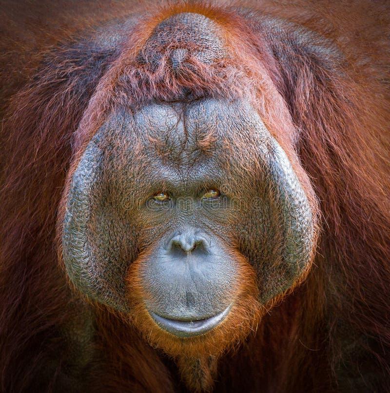 La cara del orangután fotos de archivo