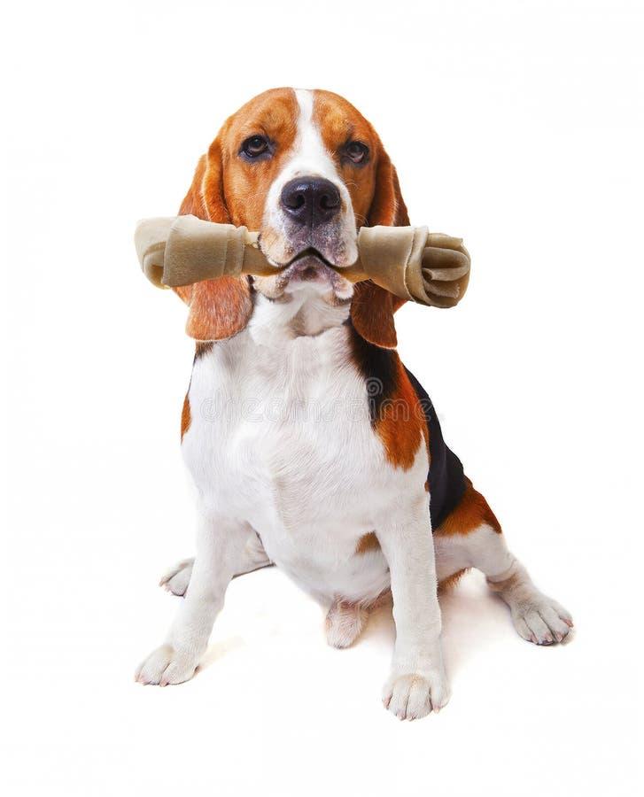 La cara del perro del beagle con el hueso del cuero crudo en su boca aisló blanco foto de archivo