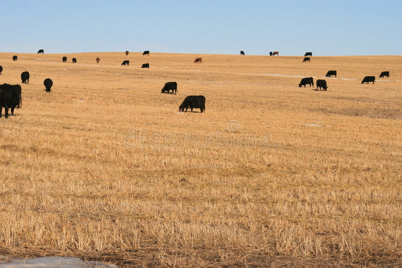 La carne de vaca canadiense está aquí fotografía de archivo libre de regalías