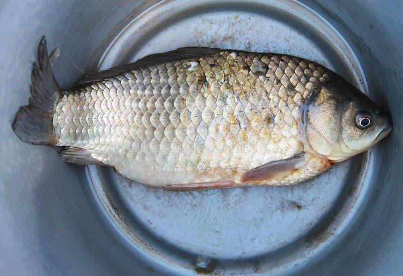 La carpa de los pescados del río miente en un cubo de aluminio - la captura de una pesca acertada fotografía de archivo