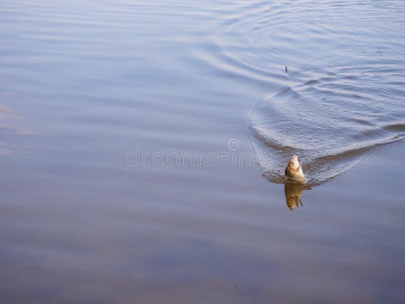 La carpa se saca del agua en un gancho imagenes de archivo