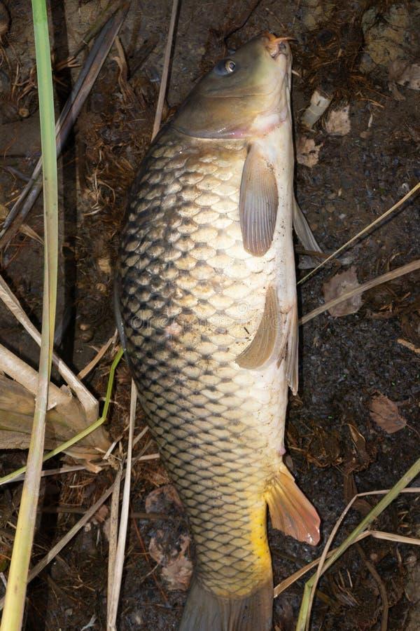 La carpe commune ou le Cyprinus européen carpio de carpe est le poisson d'eau douce le plus célèbre au monde images libres de droits