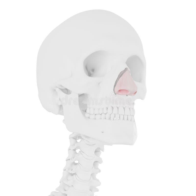 La cartilagine nasale illustrazione di stock