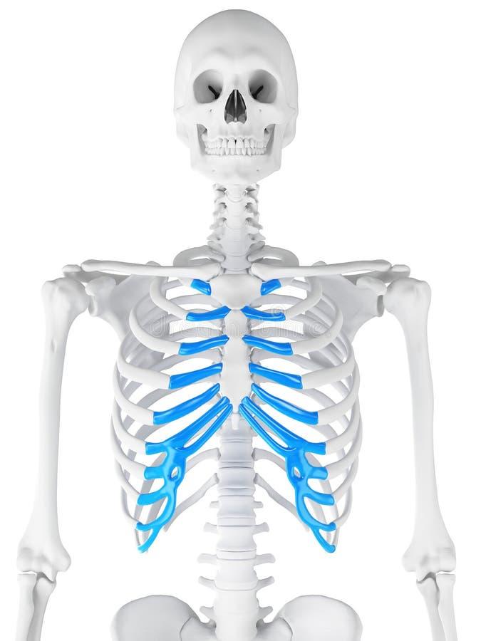 La cartilagine sternale illustrazione di stock