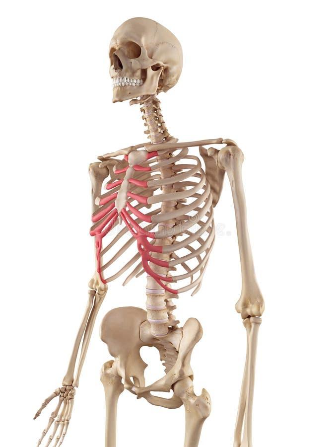 La cartilagine sternale illustrazione vettoriale