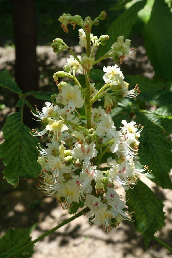 La castagna bianca fiorisce con giallo per dentellare la macchia alla base dei petali fotografia stock libera da diritti
