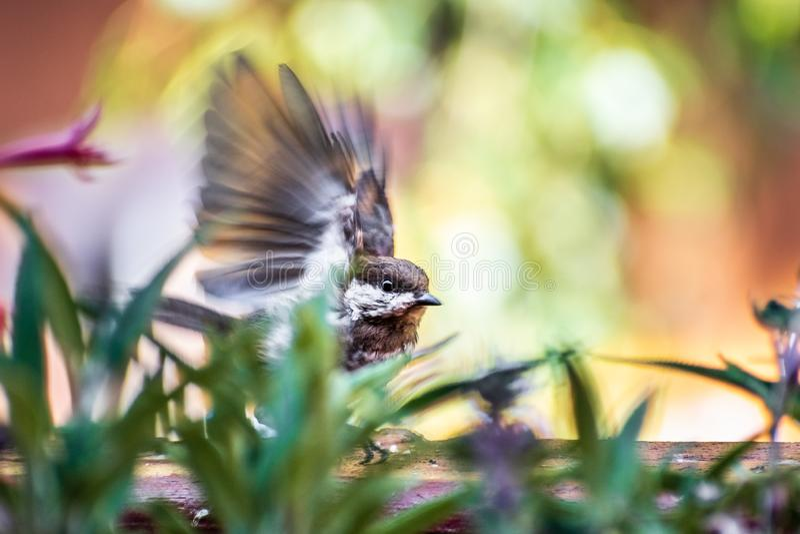La castagna ha appoggiato i rufescens di Poecile del Chickadee che prendono il volo da un bordo di legno del balcone; foglie verd fotografia stock libera da diritti