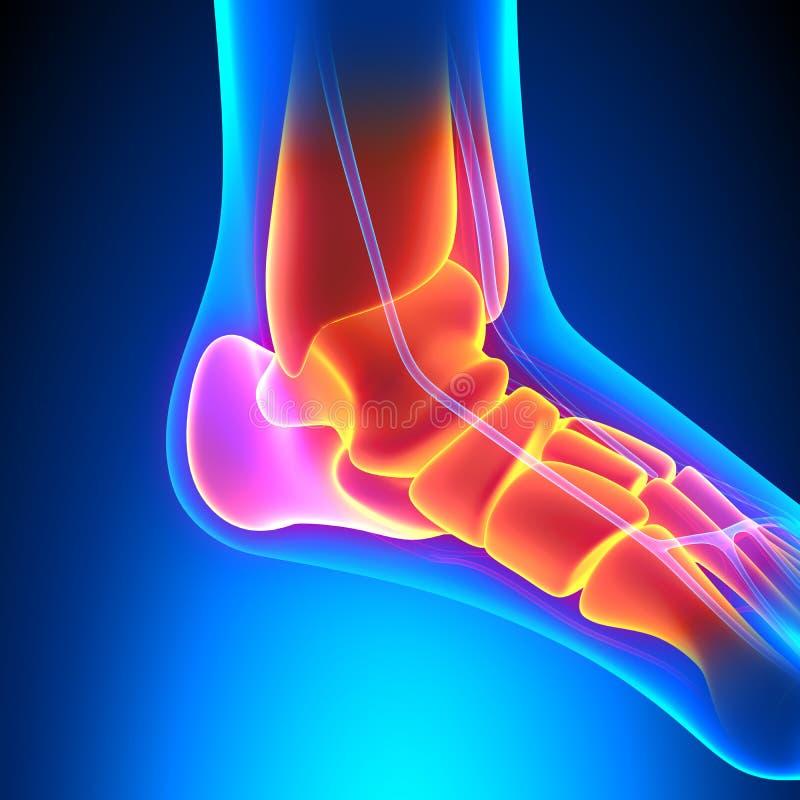 La caviglia disossa l'anatomia - concetto di dolore royalty illustrazione gratis