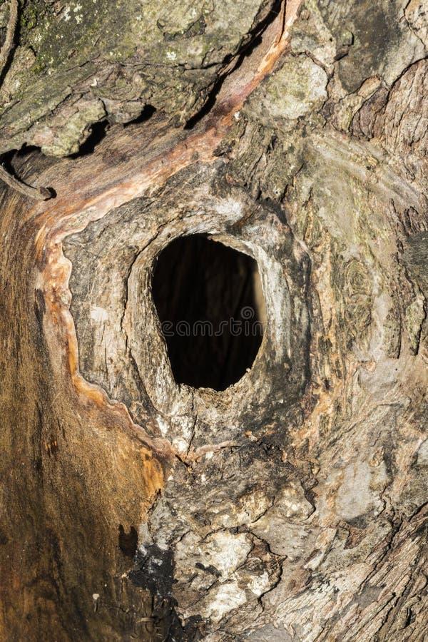 La cavità nel tronco di di melo, fondo astratto del primo piano, fuoco selettivo fotografie stock libere da diritti