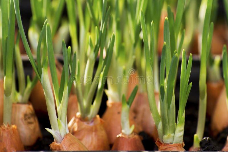 La cebolla joven verde está creciendo imagen de archivo