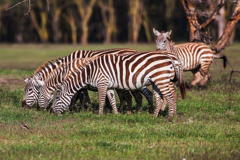 La cebra comía la hierba como su comida en los prados marrones secos de la sabana fotos de archivo libres de regalías