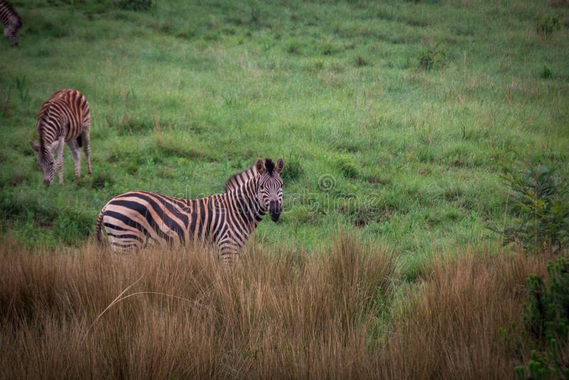 La cebra de Burchell detrás de la hierba alta con el fondo de la hierba verde imagen de archivo libre de regalías
