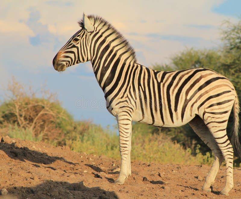 Fauna africana - cebra, yegua que mira en mañana fotos de archivo