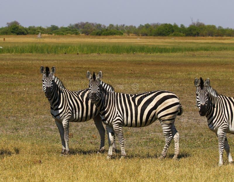 La cebra de Burchell hermoso en los llanos africanos imagen de archivo