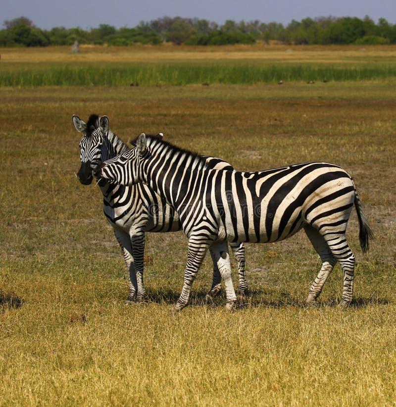 La cebra de Burchell hermoso en los llanos africanos foto de archivo